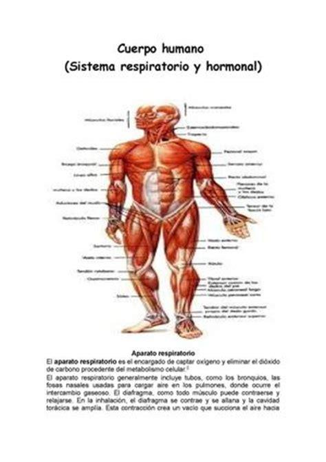 calaméo cuerpo humano sistema respiratorio y hormonal