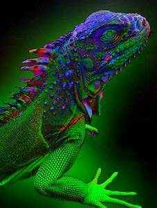 1000 ideas about Lizards on Pinterest