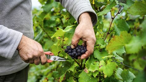 Climate Change Will Make Winners And Losers In Wine World