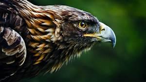 Wallpaper, Eagle, Look, Blur, Animals, 4564