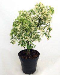 ming aralia plant care polyscias fruticosa plants plant care foliage plants