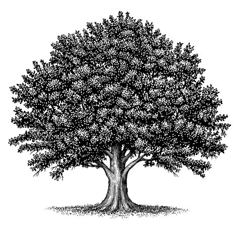 oak tree clipart black and white 1000 images about vineyards on vineyard