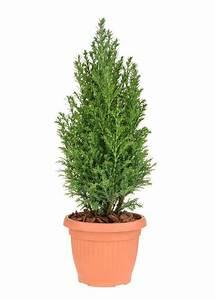 Best Zone 8 Evergreen Varieties  Choosing Evergreen Trees For Zone 8 Gardens