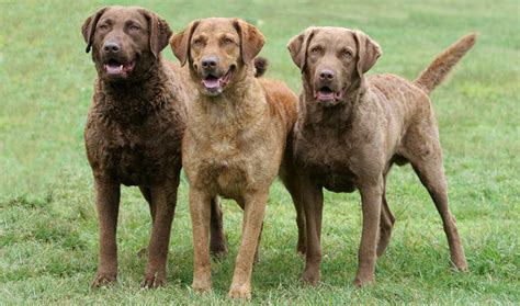 Does Chesapeake Bay Retriever Shed by Chesapeake Bay Retriever Breed Information