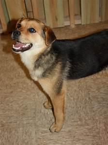 Beagle Hound Mix Dogs