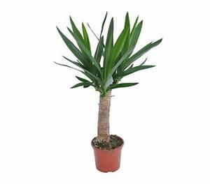 Palme Gelbe Blätter : warum werden die unteren bl tter meiner yucca palmen gelb ~ Lizthompson.info Haus und Dekorationen
