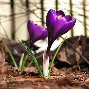 Wann Krokusse Pflanzen : hinweise zum krokus pflanzen in den rasen oder in einen ~ A.2002-acura-tl-radio.info Haus und Dekorationen