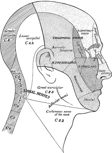 surface areas  nerves   head  neck clipart