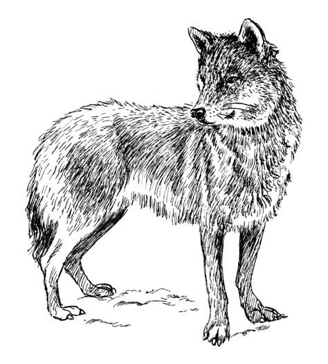wolf clipart illustration  stock photo public domain pictures