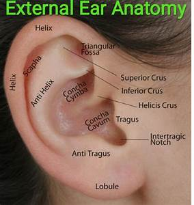 Healthcare  U0026 Health Solution  External Ear Anatomy And