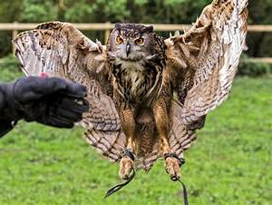 Eurasian Eagle Owl Explored Thank You For Passing By