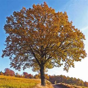 Kleiner Baum Mit Breiter Krone : traubeneiche baum des jahres 2014 ~ Michelbontemps.com Haus und Dekorationen