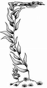 Kelp Drawing   www.pixshark.com - Images Galleries With A ...