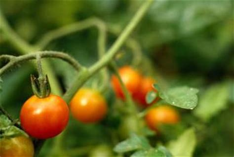 tomato plants bloom home guides sf gate