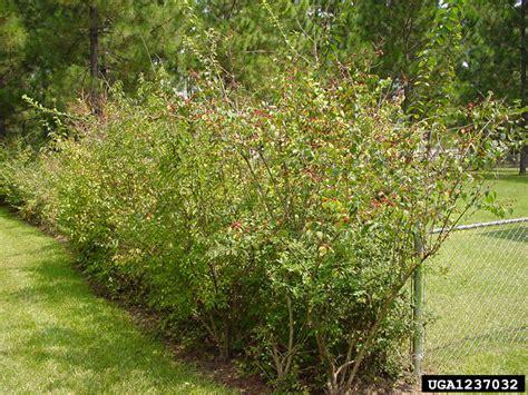 of bush asian bush honeysuckle