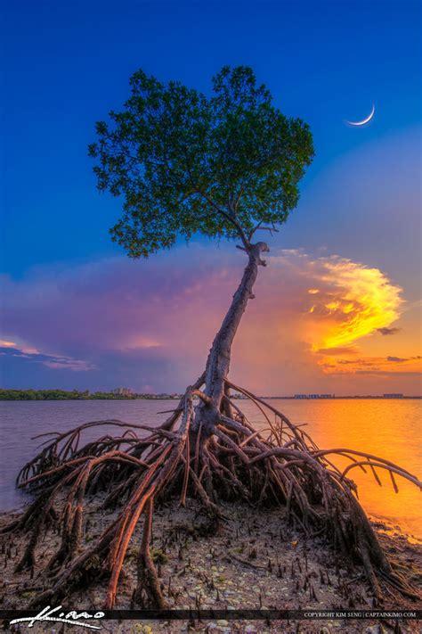 mangrove tree  crescent moon  lagoon