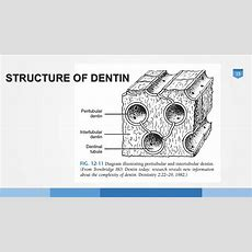 Structure And Function Of The Dentin Pulp Complex Youtube