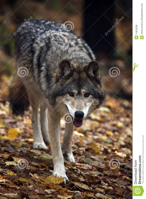 hungry wolf royalty  stock  image
