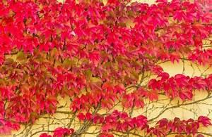 Blühende Kletterpflanzen Winterhart Mehrjährig Schnellwachsend : rankgitter aus holz bepflanzen so erschaffen sie einen bl henden sichtschutz ~ Eleganceandgraceweddings.com Haus und Dekorationen