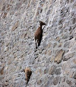 What you see here are Alpine Ibex climbing an almost ...