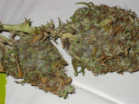 le pour cannabis pas cher la pourriture grise des buds botrytis cinerea du growshop alchimia