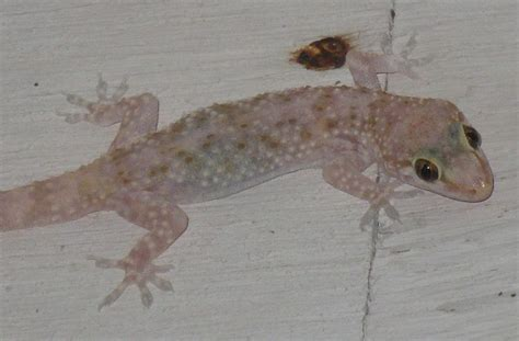 house gecko house gecko care 28 images how to care for a house gecko 11 steps with pictures wikihow