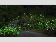 Lo straordinario spettacolo delle lucciole che illuminano
