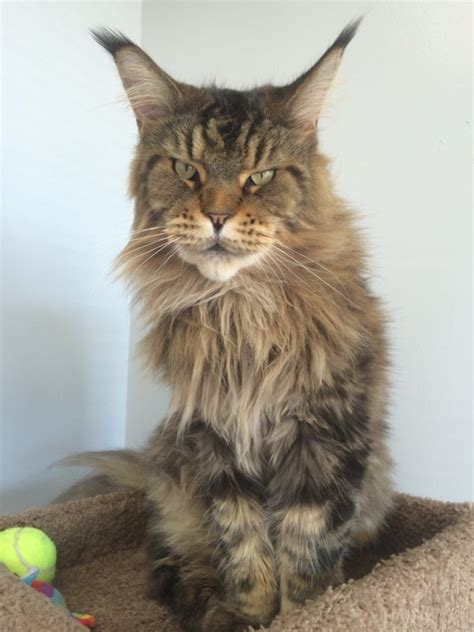 stunning maine coon cats    bigger