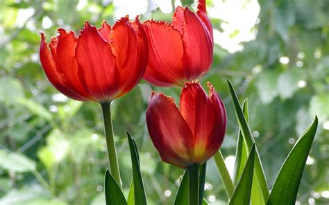Wallpaper Of Tulip by Beautiful Tulips Wallpapers