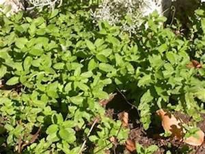 Pied De Menthe : feuilles basilic tout ~ Melissatoandfro.com Idées de Décoration
