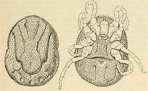 Ornithodoros Moubata