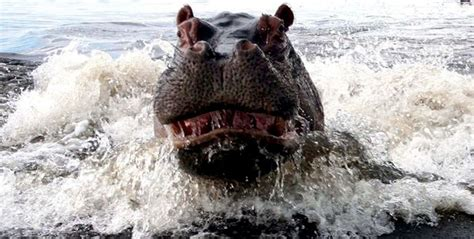 angry hippo  takes  boat full  people