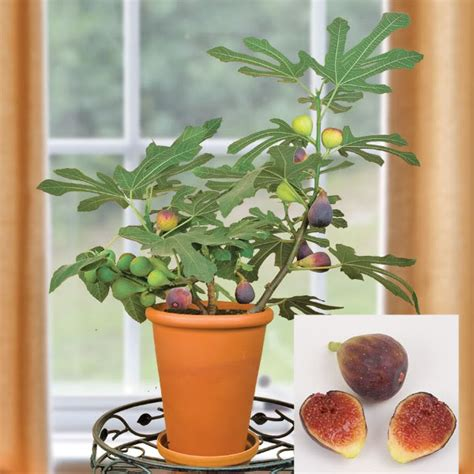 planting fig trees in pots 5 fruit to grow in containers interiorholic