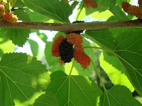 berries tree what type of berry tree is this possibly mulberry familycorner com forums