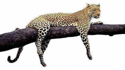 Animals Wild Tiger Transparent Pluspng Leopard Cheetah