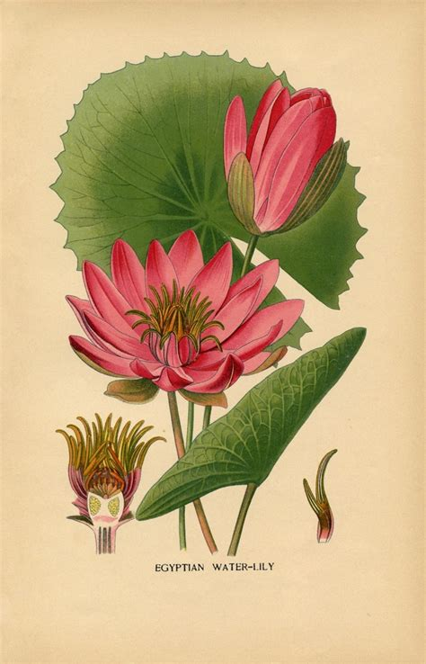 water lily images lotus flowers  graphics fairy