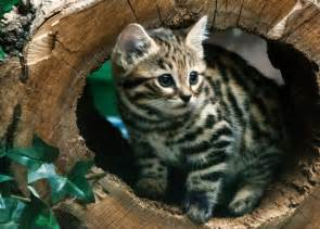 black footed cat smallest cats debut at philly zoo www whio
