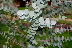 Eucalyptus Plante D Intérieur : eucalyptus sureaux ~ Melissatoandfro.com Idées de Décoration