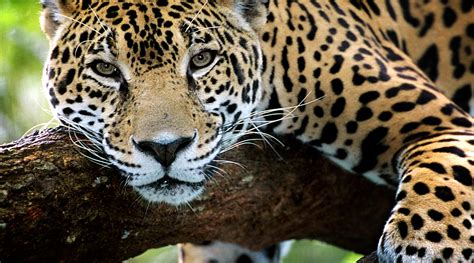 Jaguar Picture by The Meaning And Symbolism Of The Word 171 Jaguar 187