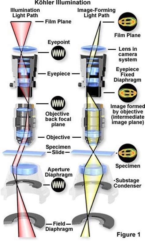 molecular expressions microscopy primer anatomy   microscope kohler microscope illumination