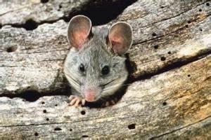 Comment Tuer Un Rat : tuer rat ~ Melissatoandfro.com Idées de Décoration