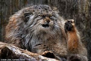This wild cat's a real sourpuss: Fierce feline's glare ...