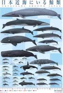 クジラ:くじら ベーコンなど 鯨 肉を使った 鯨 料理のレシピから通販 ...