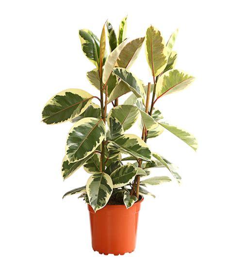 Gummibaum  Ficus 'tineke' Dehner