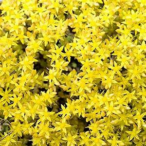 Outsidepride Sedum Acre Ground Cover Plant Seed - 5000 ...