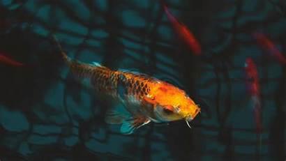 Koi Fish Carp Aquarium 4k Background Journal
