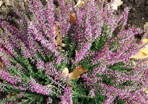 erika pflanze winterhart heidekraut erica ist braun ursachen trockenheit pflege