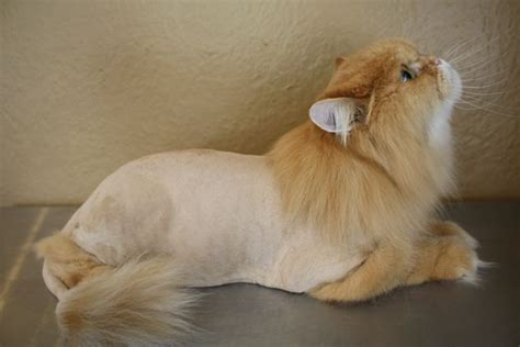 lion persian cat     standard lion cut