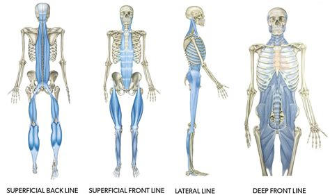 Funky Thomas Myers Anatomy Trains Image Collection - Image of ...