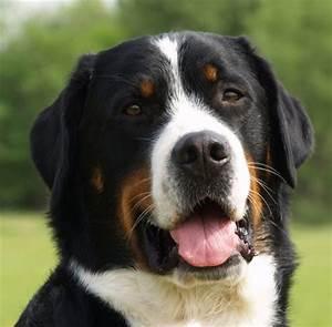 Grosser Schweizer Sennenhund general features, temperament ...